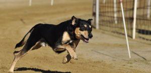 virtueel wedden honden